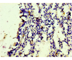 Cd163 Antibody