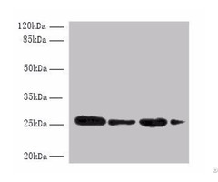 Med7 Antibody