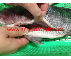 High Quality Tilapia Gs From China