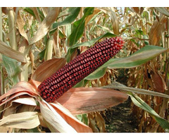 Feed Corn Red Coloured