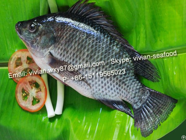 Offer Frozen Black Tilapia Fish Oreochromis Niloticus