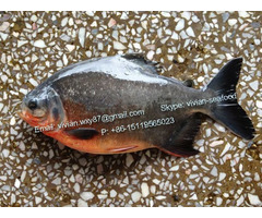 Offer China Frozen Pomfret Fish Red Pacu Colossoma Brachypomum