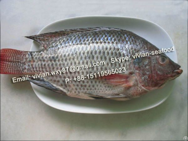 Offer Frozen Black Tilapia Fish Whole Round Oreochromis Niloticus