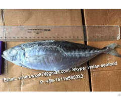 Offer China Frozen Horse Mackerel Scad Trachurus Japonicus For Sale