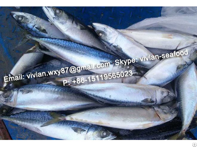 Offer China Frozen Pacific Mackerel Scomber Japonicus For Sale