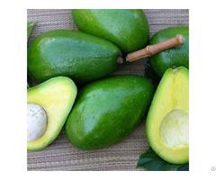 Fresh Avocado Origin Vietnam
