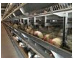 High Tech Poultry Cages With Water Trip Methods Shandong Tobetter First Class Quality