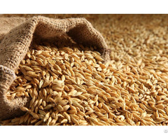 We Sell Barley Best Quality
