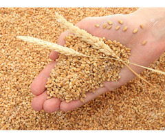 We Sell Wheat Best Quality