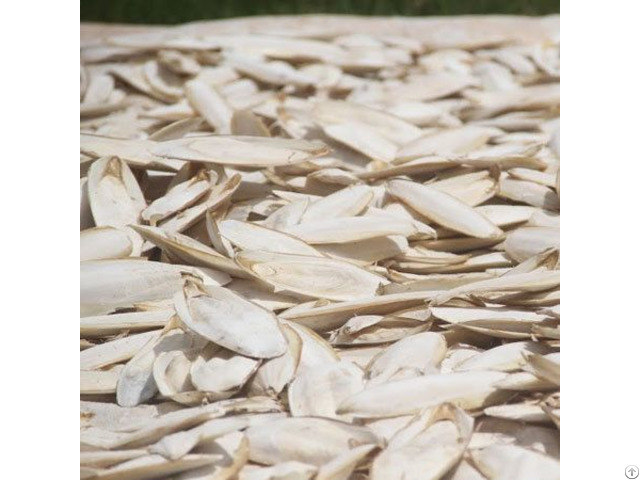 Dried Cuttlefish Bone