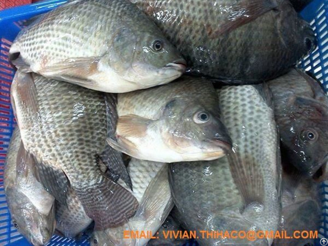 Supply Vietnam Black Tilapia Fish