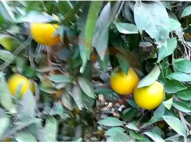 Baladi Orange