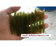 Seagrape Seaweed In Viet Nam