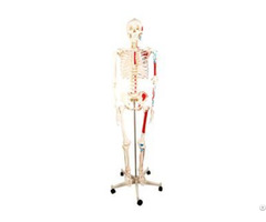 Jy A0006 Human Skeleton