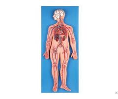Jy A6018 Circulatory System Model