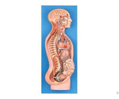 Jy A6058 Sympathetic Nerve System
