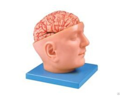 Jy A6077 Brain With Arteries