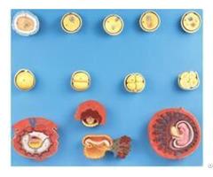 Jy A6133 Human Fertilization And Intermediate Embryogeny