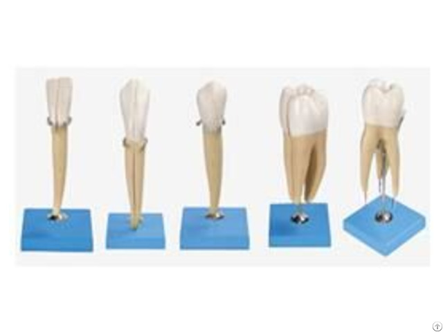 Jy B10004 Teeth Model