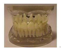 Jy B10010 Transparent Adult Teeth Model