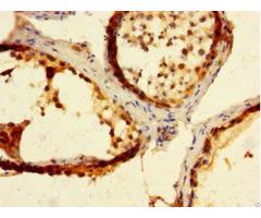 Mad2l2 Antibody