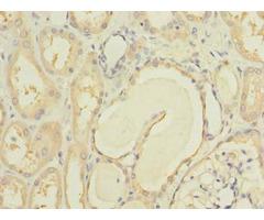 Mcm9 Antibody