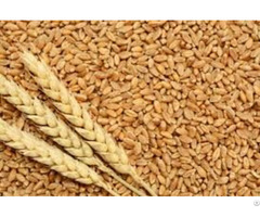 High Quality Wheat Grains