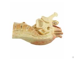 Median Sagittal Section Of Male Pelvis Human Plastination Specimen