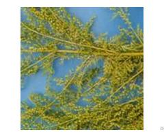 Artemisia Annua P E Cas No 63968 64 9