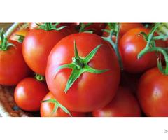 Cherry Green Tomato Fresh Crop For Sale