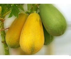 Vietnam Fresh Papaya