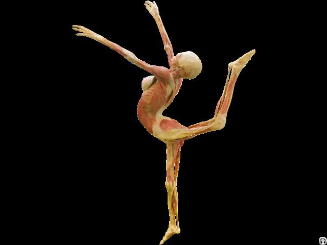 Dance Lady Body Plastination