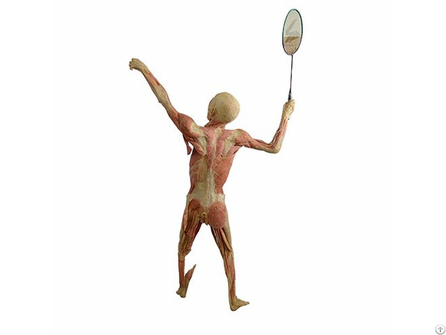 Play Badminton Plastinated Specimens