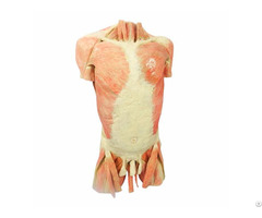 Muscles Of Trunk Plastination Human Body For Teaching Anatomy