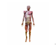 Whole Body Muscles Plastination