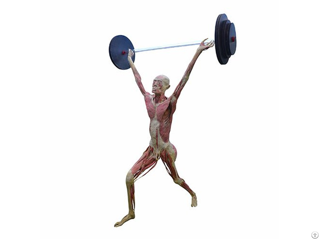 Weight Lifting Body World Plastination