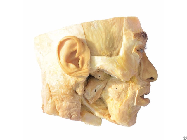 Medial Pterygoid Plastination Specimen For Teaching Anatomy