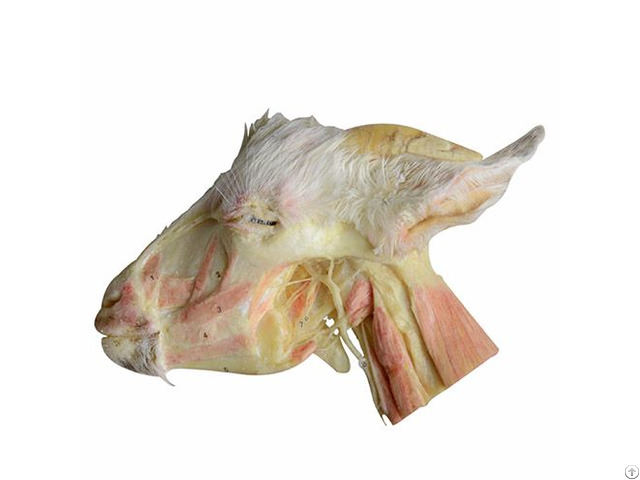 Deep Dissection Of Sheep Head And Neck Anatomy Plastination