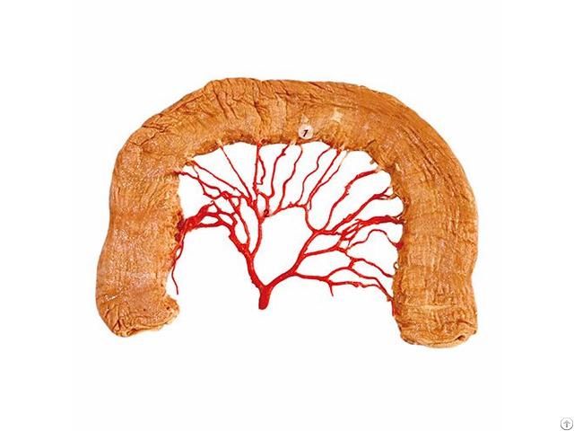 Jejunal Arterial Arch Plastinated Anatomical Specimens