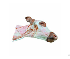 Deep Dissection Of Cow Head And Neck Veterinary Plastination