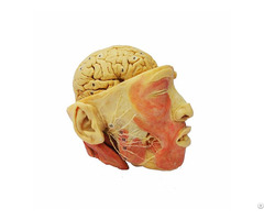 Facial Nerves With Brain Plastinated Specimen