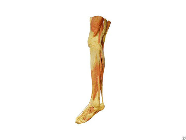 Supperficial Muscles Of Lower Limb Human Plastination Specimens