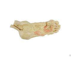 Deep Muscles Of Foot Plastination Specimen