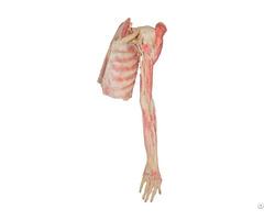 Scapular Region Muscles Plastinated Specimen