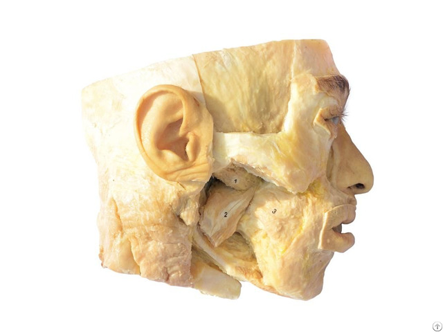 Medial And Lateral Pterygoid Plastination Specimen For Teaching Anatomy