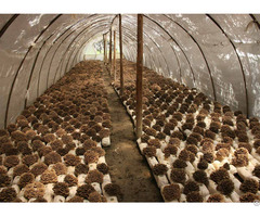 40% Polysaccharide Maitake Mushroom Extract