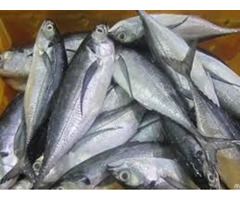Frozen Mackerel Fish Fillets