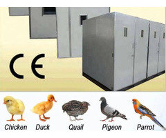 Which Breed Of Chicken Should I Choose For Egg Laying