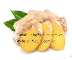 Fresh Ginger High Quality Viet Nam