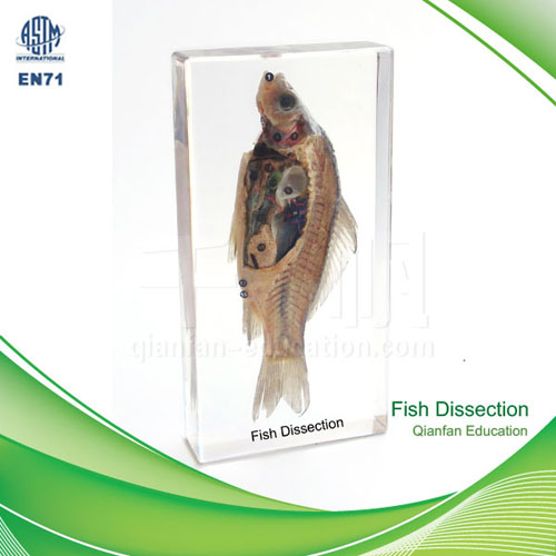 1201 Qianfan Fish Dissection Embedded Specimen Different From Plastinated Real Nature Save